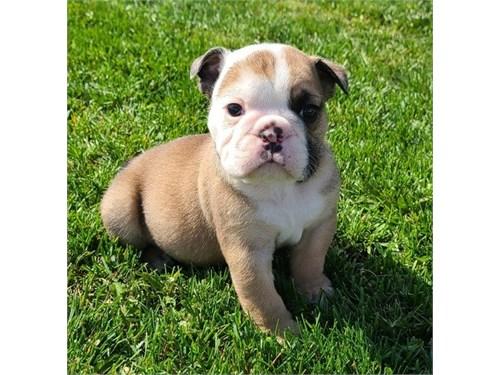 Loki English Bulldog pups