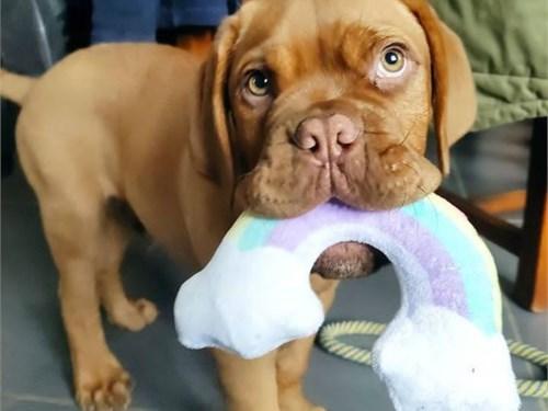 dogue.de.bor.deaux 0 pup