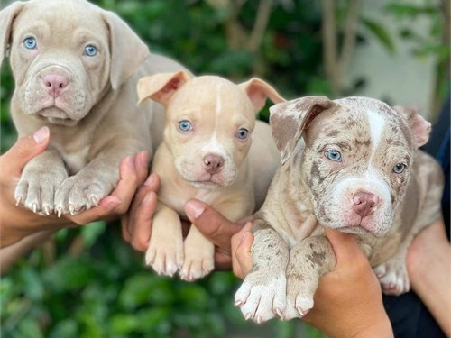 merle pitbull puppies