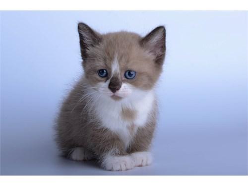 Stunning Munchkin Kittens