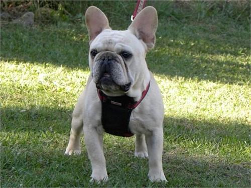 French Bulldog, Frenchton