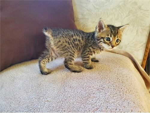 Desert lynx