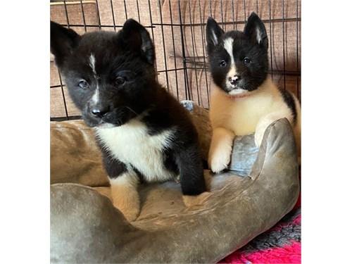 Best Akita puppies