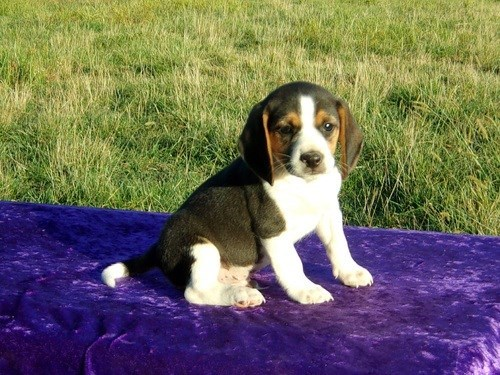 amiable Bea-gle puppies