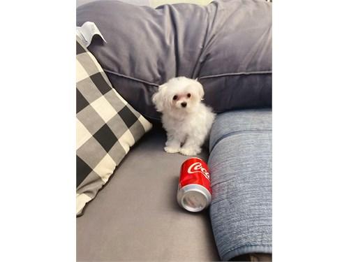 Maltese Puppies 12 Weeks