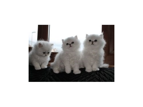 ChinchinllaPersian kitten