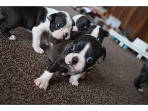 boston terriers puppies .