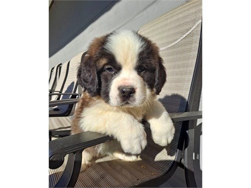 Super Saint Bernard pups