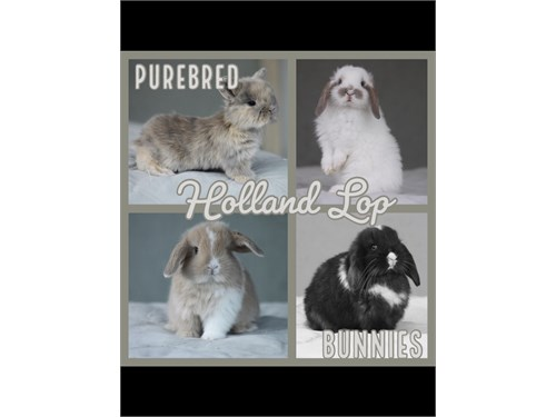 HOLLAND LOP BUNNIES