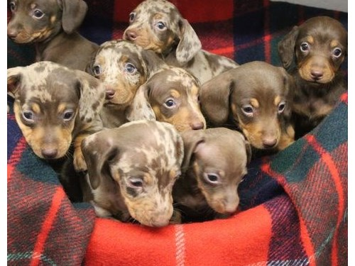 Pups available Dachshund