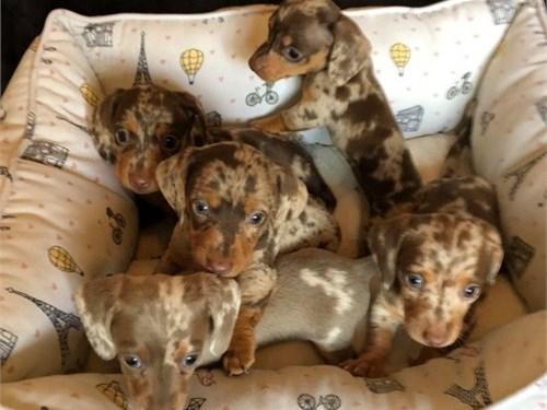 KC-MINI Dachshund Puppies