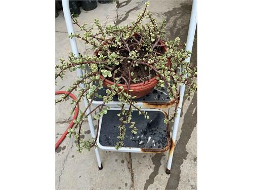 Medusa Plant