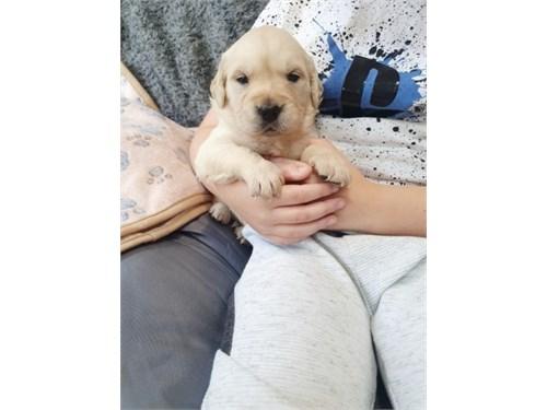 Best Golden Retriever pup