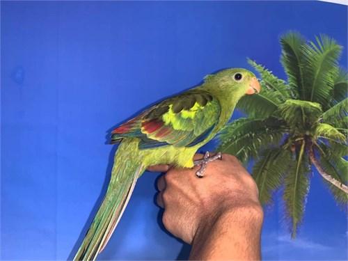 Baby Rock Pebbler Parrot