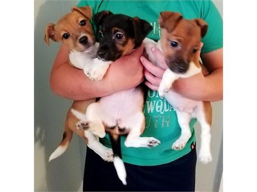 Jack Russel puppy 4 sale