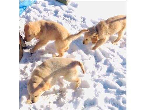eGol.den Re.tri.ever Pups