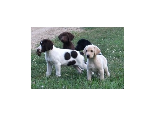 Hybrid Labrador Puppies