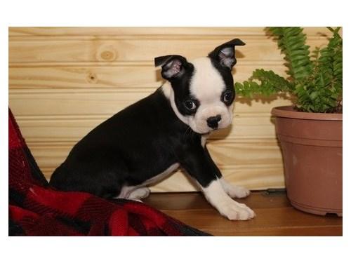 ADAPTABLE Boston terrier