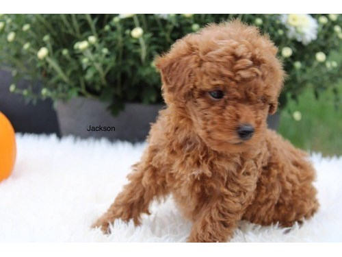 Adorable Toy poo.dle Pups