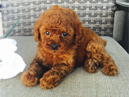 AKC Red Toy Poodles