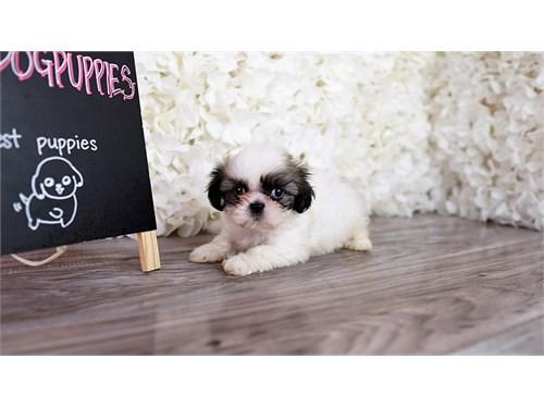 Malshi Puppy pups