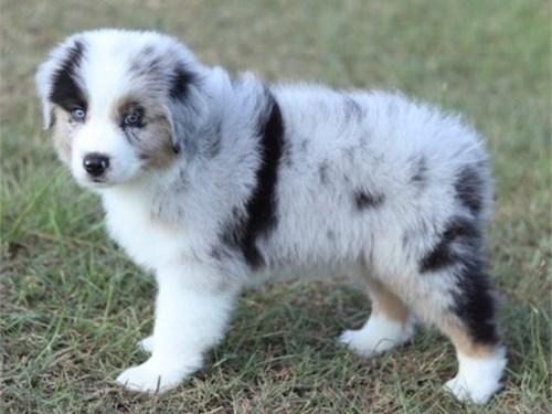 Nice aus puppies