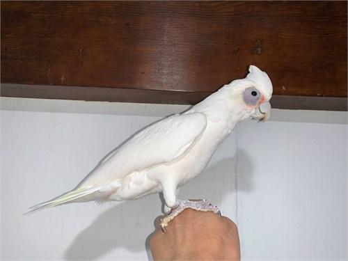 Male Bare Eyed Cockatoo