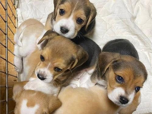 Adorable Bea-gle pup