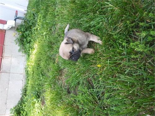 cute pug puppies akc reg.