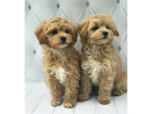 M@ltipo puppies for sale