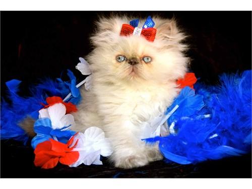 Himalayan Persian Kittens