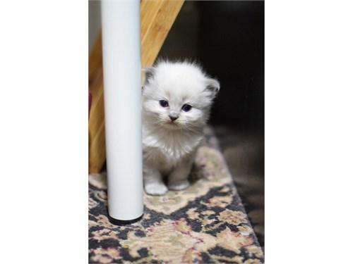 Ragdoll Kittens for home