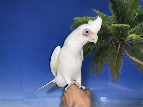 Bare Eye Cockatoo