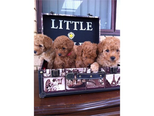 Cute Poodles Puppies