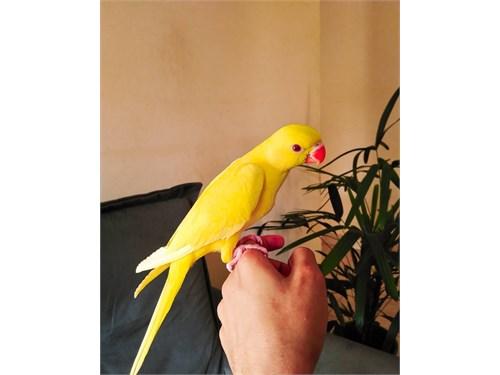 Ringneck bird