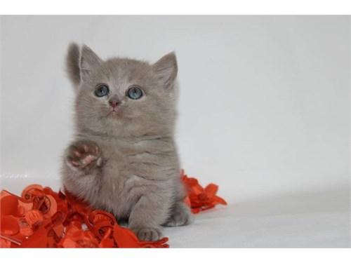 Playful Munchkin Kittens