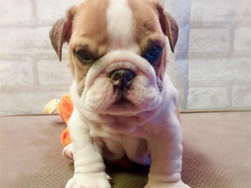 Sweet English Bulldog Pup