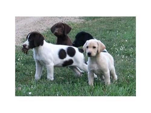 Hybrid Labrador Puppies
