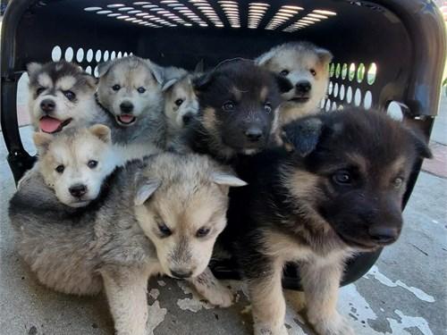 Husky/German Shepherd