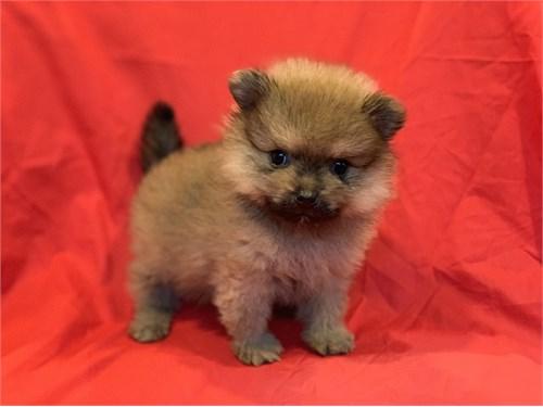 Gorgeous Toy Pomeranians