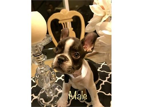 Female Frenchie(Frenchie)
