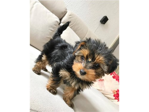 Lovely Face Yorkie Puppie