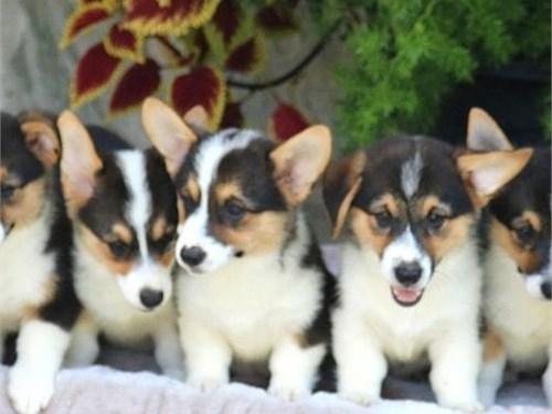 Beautiful corgi pups