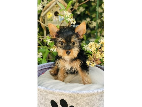 Yorkshire Terrier, Lucy
