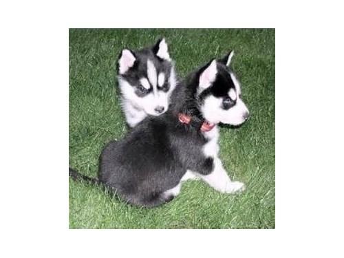 Seberian Husky Pups