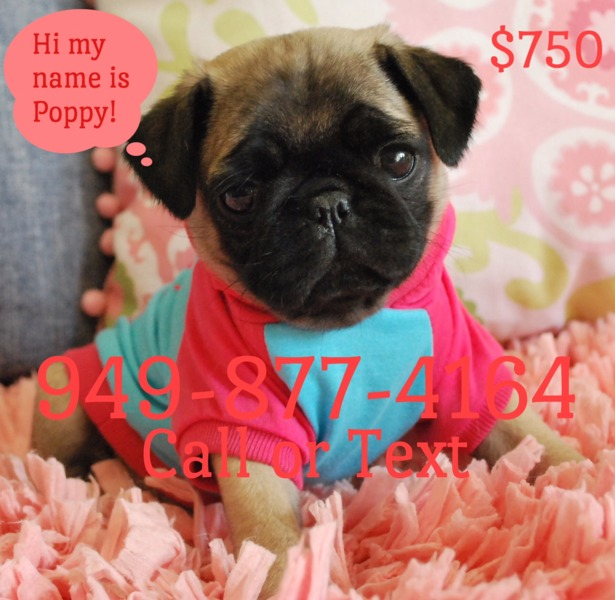 Pug Puppies for sale  I have THE most Beautiful litter of Pug Puppies that you will ever see They