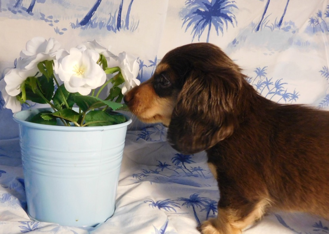 Purebred AKC Reg mini dachshund puppies raised in our home with children male and females smoot