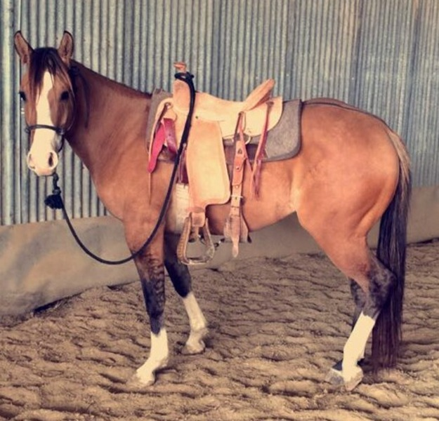 quarterhorse 3 yr old no papers running bred handles well rides around smooth stopsbacks up g