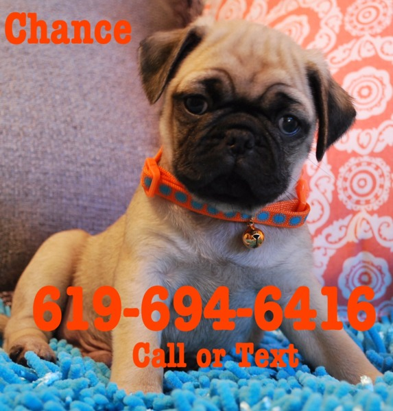 I have a beautiful litter of Pug Puppies available 2 girls and 2 boys as you can see they are abso