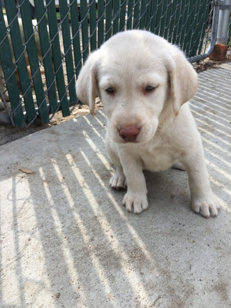 Up for sale are 6 beautiful purebred AKC Labrador retriever puppies White and Yellows Mom is AKC Y
